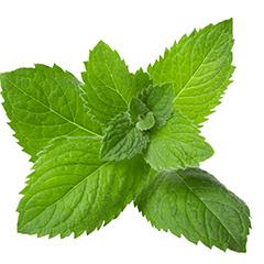 SugaVida Website Peppermint Leaf Image